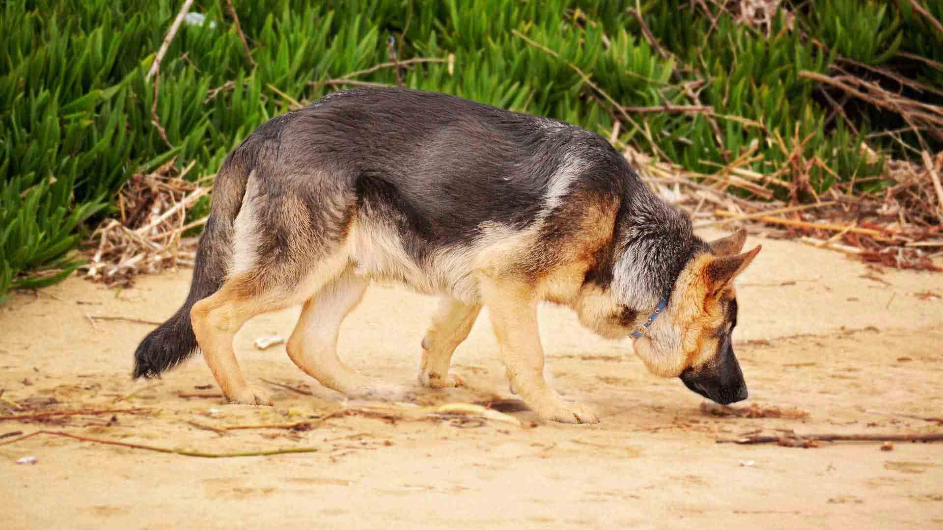 hundeführer-hundestaffel-hintergrund